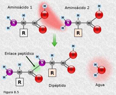 dos aminoacidos