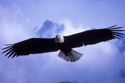 Eagle-in-Flight-Big